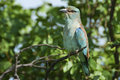 European roller perched on a branch in the kruger national park south africa Royalty Free Stock Photo