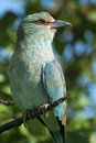 European roller perched on a branch in the kruger national park south africa Stock Image
