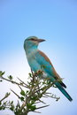 European roller a perching high on some thorny branches Royalty Free Stock Photo