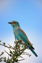 European roller a perching high on some thorny branches Royalty Free Stock Image