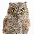 European Scops Owl Otus Scops ...