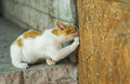 European short hair cat calling hiding mouse out to honest duel young Royalty Free Stock Photography