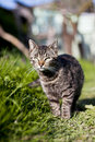 European Shorthair cat Royalty Free Stock Image