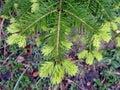European silver fir