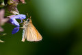 European skipper or the essex thymelicus lineola is a butterfly of the hesperiidae family Royalty Free Stock Photo