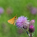 European skipper on thistle ventral view of a resting a Stock Photo