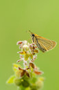 European skipper thymelicus lineola side view of a on a plant Royalty Free Stock Photo