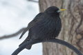 European starling image of a in winter Stock Photography