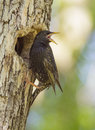 European starling at nest sturnus vulgaris Stock Image