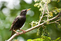 European Starling Perched in a Tree Stock Photography