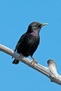 European starling perched on a tree branch Stock Images