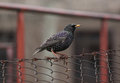European starling sitting on fence Stock Image