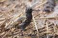 European starling Royalty Free Stock Photo