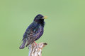 European Starling ( Sturnus vulgaris ) Royalty Free Stock Photo