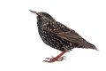 European starling on a white background Stock Photography