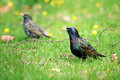 European Starlings in grass Royalty Free Stock Photos