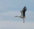 European stork Ciconia in flight, isolated on sky Stock Image