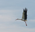 European stork Ciconia in flight, isolated on sky Stock Photos