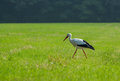 European stork hunting in a field Royalty Free Stock Photo