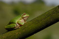 European tree frog hyla arborea formerly rana arborea bird sitting on a branch Stock Images