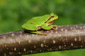 European tree frog hyla arborea formerly rana arborea sitting on a branch Stock Images