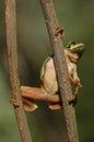 European tree frog hyla arborea formerly rana arborea sitting on a twig Stock Images