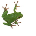 European tree frog isolated on white Royalty Free Stock Photo