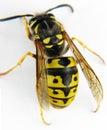 European wasp macro white background Stock Images