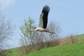 European white stork (Ciconia) Royalty Free Stock Photo