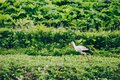 European White Stork in green summer field in Russia Royalty Free Stock Photo