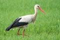 European White Stork Royalty Free Stock Photo