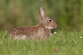 European wild rabbit Stock Image