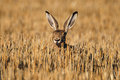 European wild rabbit Stock Photography