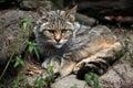 European wildcat (Felis silvestris silvestris). Royalty Free Stock Photo