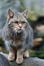 European wildcat is standing on a wood Royalty Free Stock Photo