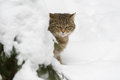 European wildcat in winter snow Royalty Free Stock Photo
