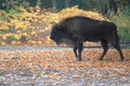 European wisent strolling in the fallen leaves Stock Photo