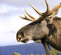 Europese mannelijke hoofd dichte omhooggaand van Elanden Royalty-vrije Stock Foto