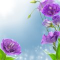 Eustoma blue flowers on blurred background Stock Photography