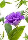 Eustoma flower Royalty Free Stock Images