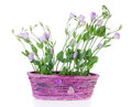Eustoma in pink basket on the white background Royalty Free Stock Photo