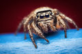 Evarcha arcuata jumping spider Royalty Free Stock Images