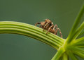 Evarcha falcata small jumping spider with sympathetic eyes Royalty Free Stock Photography