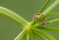 Evarcha falcata small jumping spider with sympathetic eyes Stock Photos