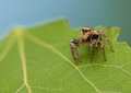 Evarcha falcata small jumping spider with sympathetic eyes Stock Images