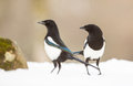 Two Magpies in the snow Royalty Free Stock Photo