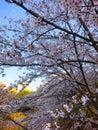 stock image of  Evening Cherry Blossom