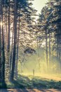Evening forest with sun and light volume Royalty Free Stock Photo
