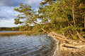 Evening lake shore big pine tree hanged over windy waters on the sand forest Stock Photography