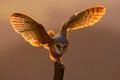 Evening light with bird with open wings. Action scene with owl. Owl sunset. Barn owl landing with spread wings on tree stump at th